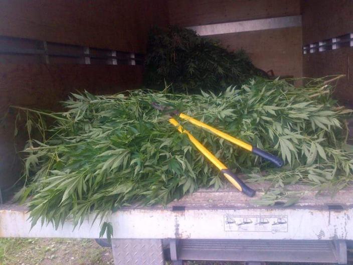 Le jeu de cet hiver austral : les saisis de plantes de cannabis