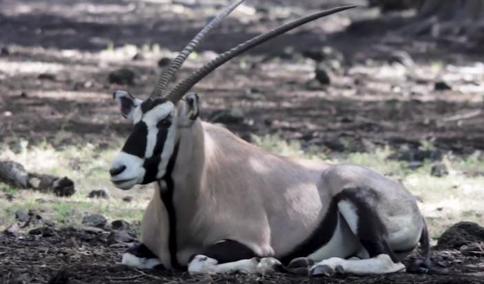 [Vidéo] Casela accueille cinq nouveaux oryx offert par la Namibie