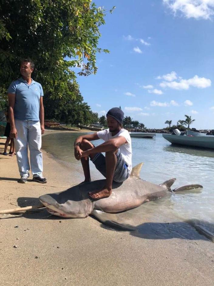 Requin pêché par Benoit David ce dimanche matin dans le lagon de Grand Gaube