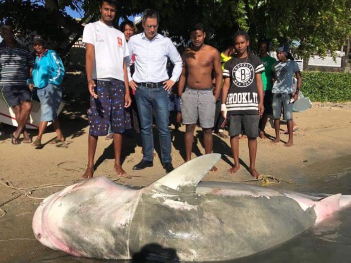 Grand-Gaube :Un requin Tigre femelle capturé ce matin avec 35 petits dans son ventre