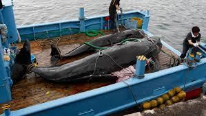 [Japon] Critiques internationales après une expédition de pêche: 177 baleines chassées et rapportées à quai