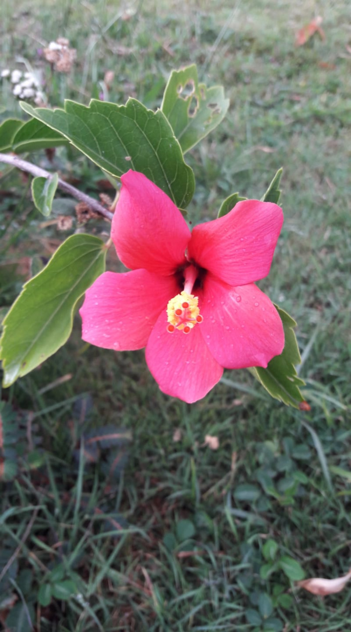 Welcoming the bloom of another endemic hibiscus (hibiscus fragilis)