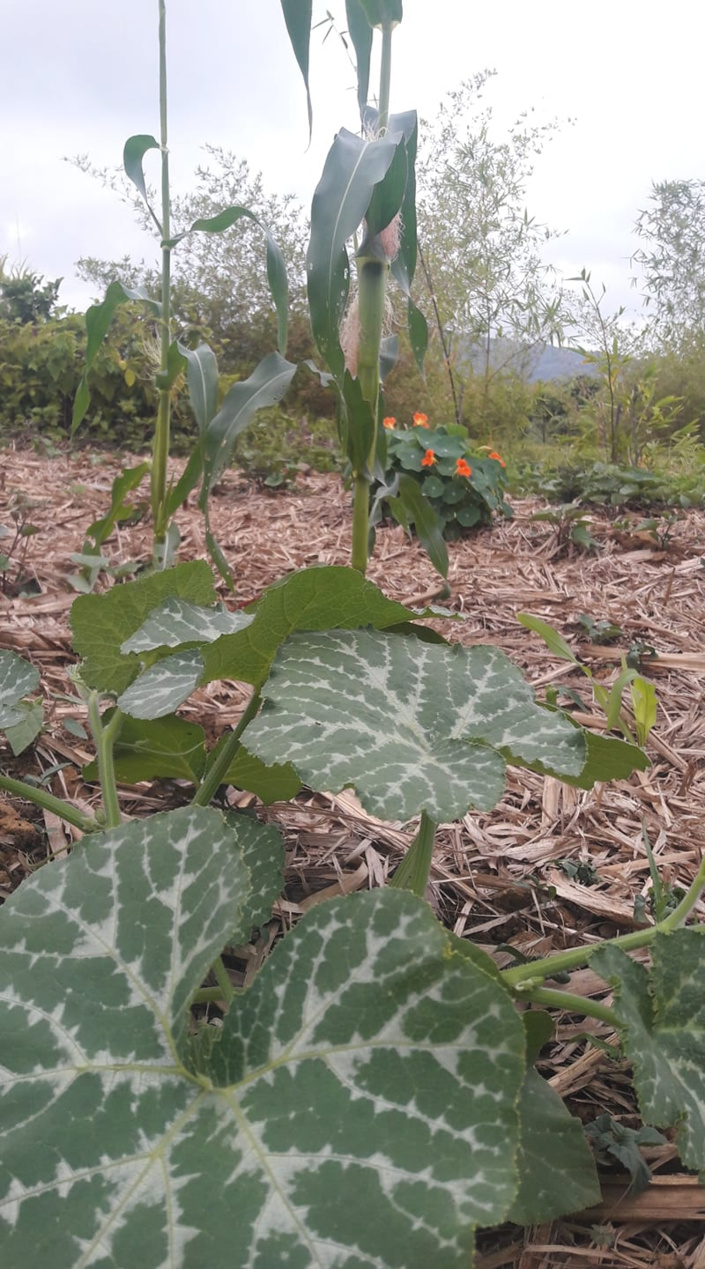3 types of groundcovers in the maize field, straw as dry mulch, pumpkin and nasturtium as live mulch to continue a cycle.