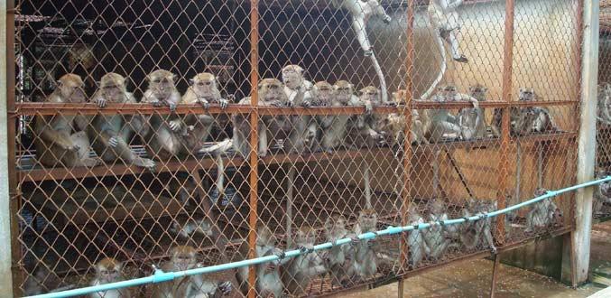 [Dossier] Le « Monkey Business » à l'île Maurice