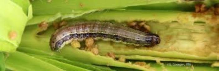 La chenille légionnaire gagne du terrain : 25 sites contaminés