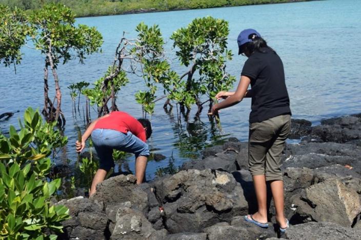 Poste Lafayette : 359 plants de mangroves plantés par huit bénévoles