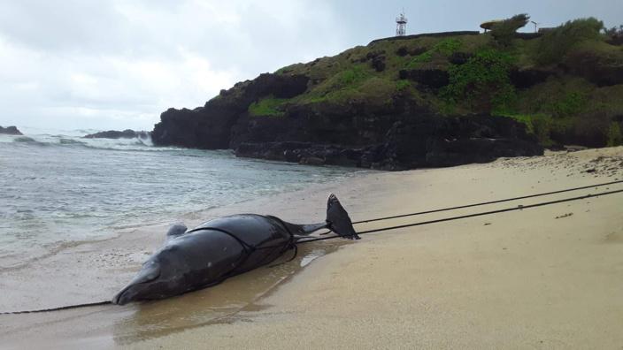 Souillac : Un dauphin retrouvé mort échoué sur la plage de Gris-Gris