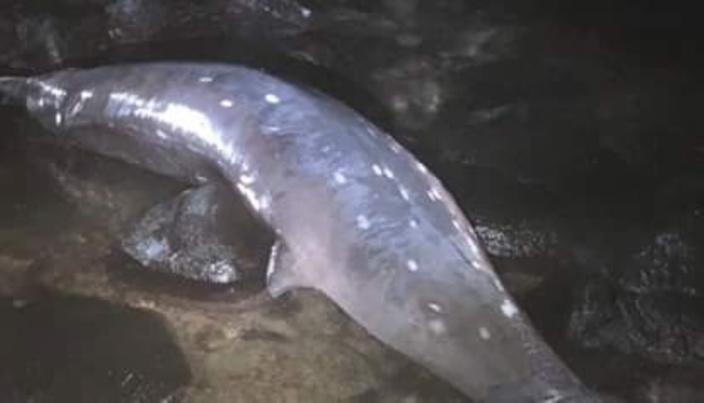 Souillac : L'autopsie confirme que les mammifères marins échoués sont des baleines à bec