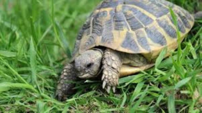Un jeune homme recherché pour le vol d'une tortue à Rs 50 000