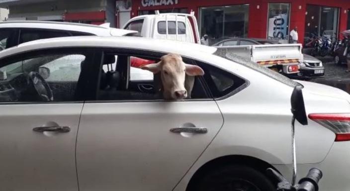 A Quatre-Bornes : Oh la vache !