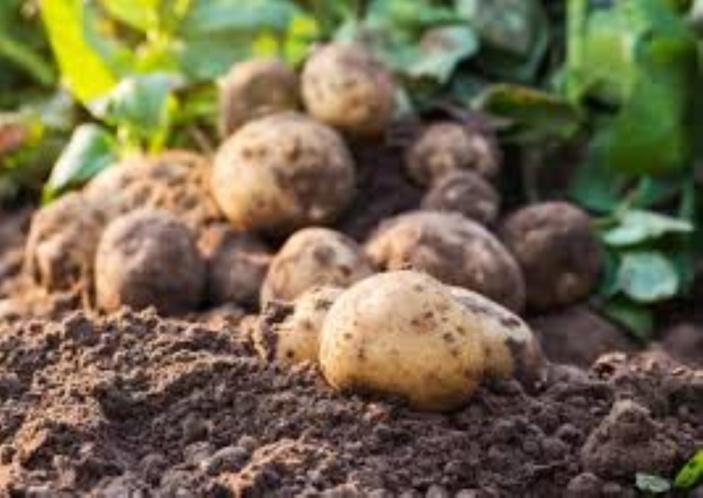 Un champignon affecte les cultures de pomme de terre et tomate à Maurice