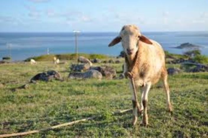 [Rodriges] Adieu cabris, moutons…