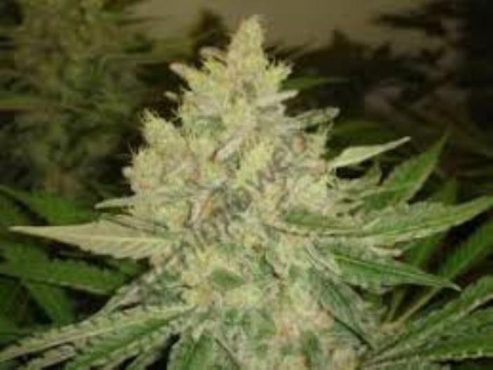Flic-en-Flac : Saisie de Rs 500 000 de plants de cannabis, un suspect arrêté