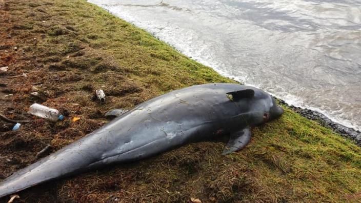 La mort des dauphins d'Électre à Maurice : A l'origine des traces d'hydrocarbures et une multitude de facteurs