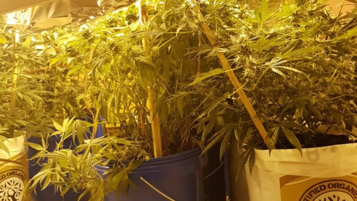 Pereybère : un suspect arrêté avec Rs 18 millions de cannabis