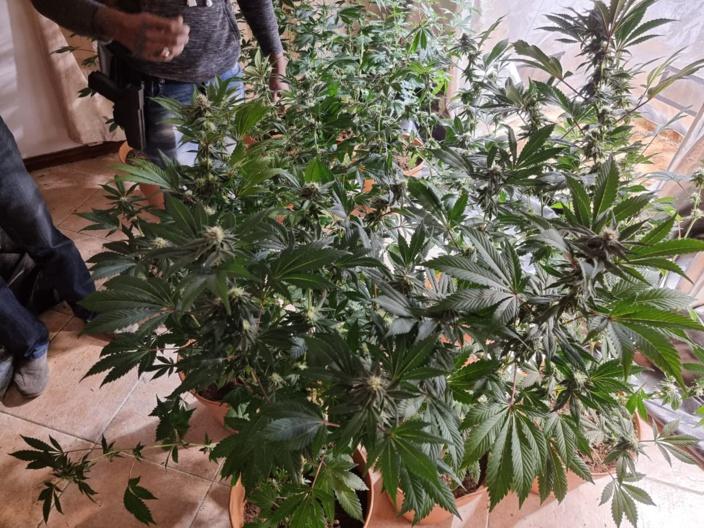 Tamarin : Il disposait d'un joli coin salon de Rs 846 000 de culture intérieure de plantes de cannabis