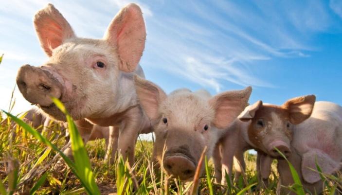 [NEO] Le règne des porcs