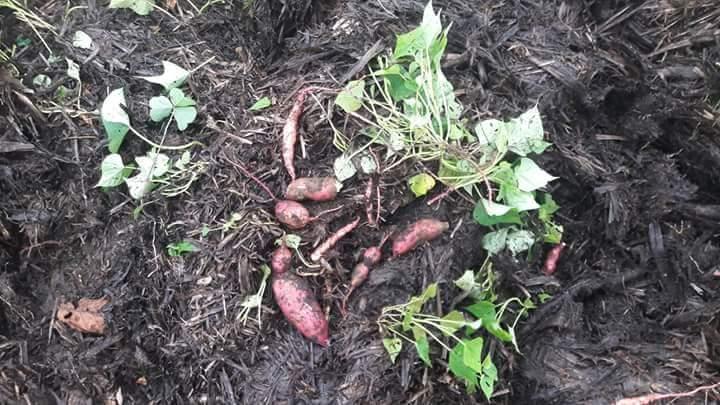 Le jardin de Gael Soupe : La Patate Douce