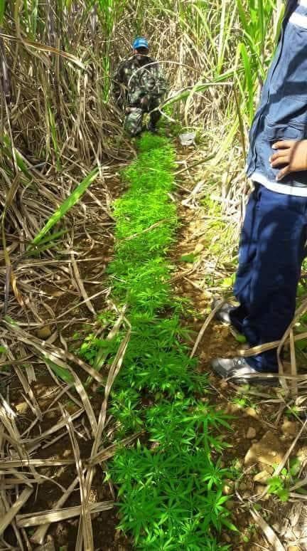 Sud de l'île : Saisie de plants de cannabis par l'ADSU