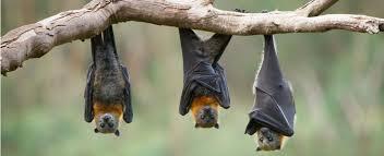 Abattage des chauves-souris : L'IUCN a classé ces mammifères sur la liste rouge