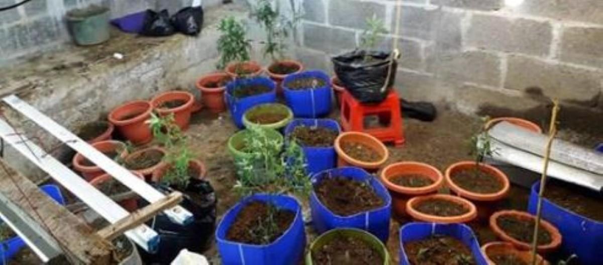 Quartier Militaire- Villemain : Plants et feuilles de cannabis d'une valeur de Rs 588 000 saisis