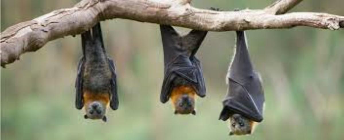 Exercice d'abattage des chauves souris dès le samedi 27 octobre