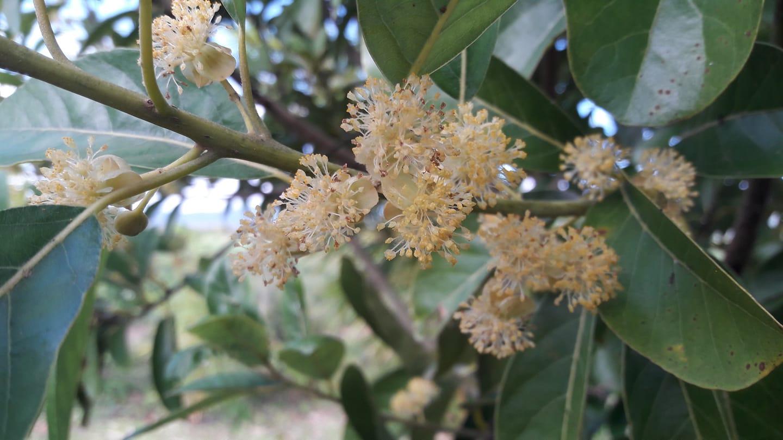 Fleurs de bois d'oiseau, dont les feuilles agissent contre les brûlures d'estomac...
