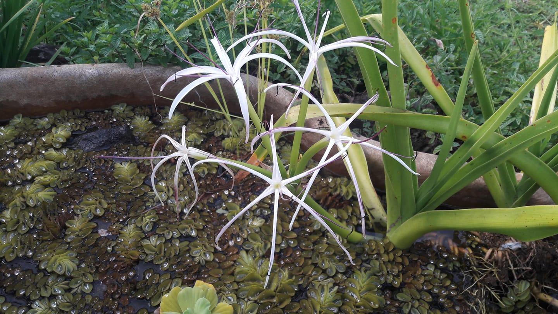 Crinum mauritianum ou lys endémique de l'île Maurice. Elles se développent en terre mais mieux dans l'eau.