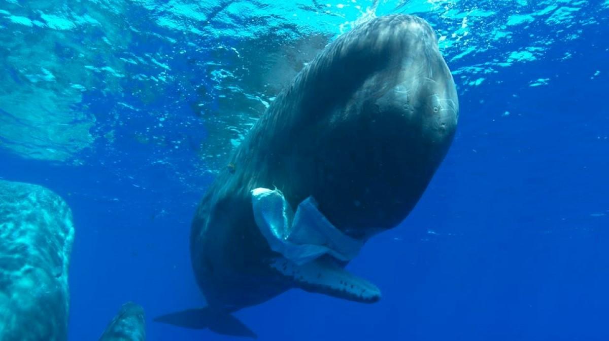 [Vidéo] Un petit geste pour une grande cause sur les cachalots de Maurice