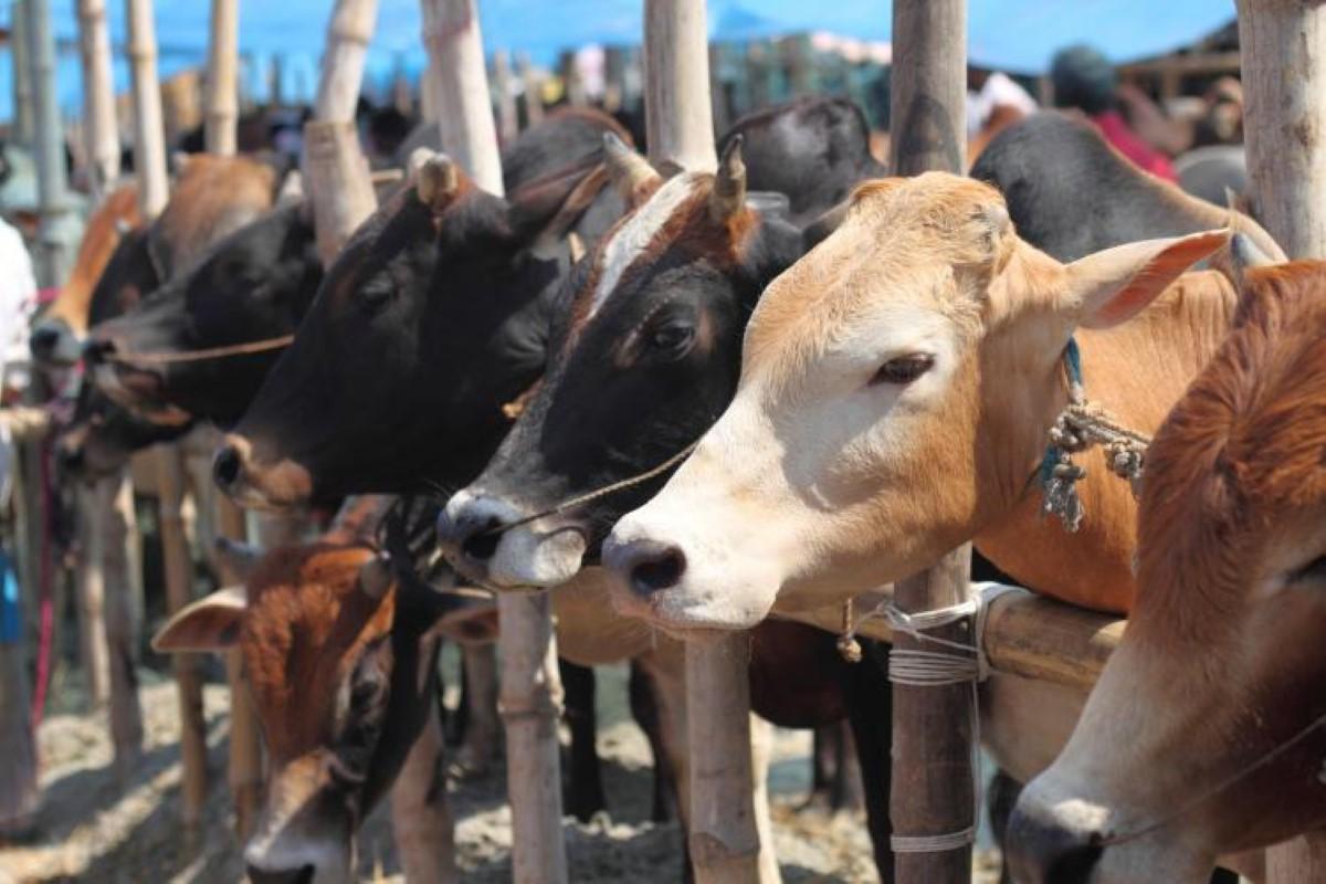 Du bétail venant de l'Afrique du Sud et de Rodrigues pour la célébration de la fête Eid-Ul-Adha à Maurice