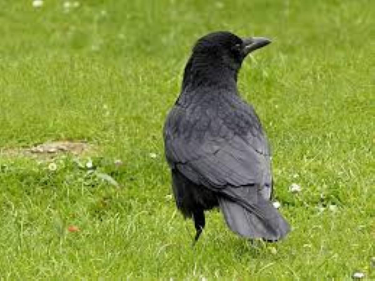 Campagne d'abattage : Après les chauves-souris, c'est la chasse aux corbeaux