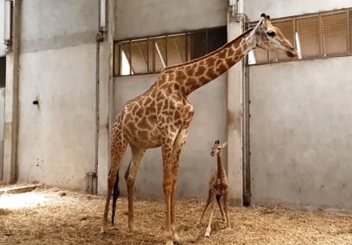 ▶️ Le premier girafon baptisé Nyota a vu le jour sous le ciel mauricien