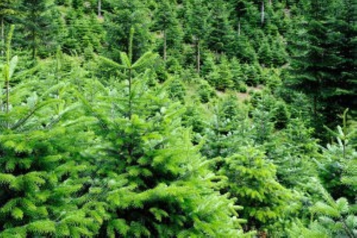 Noël 2019 : Un sapin acheté, une plante d'Araucaria sera offerte gratuitement