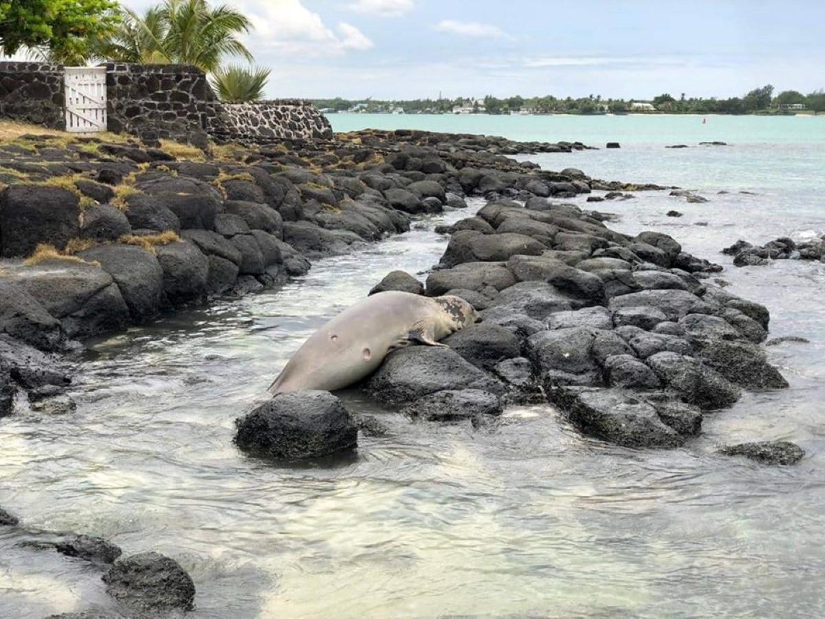 Grand Baie : Un phoque échoué dans nos lagons depuis plusieurs jours, s'épuise