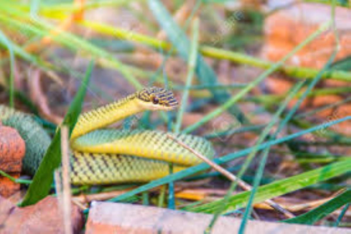 """Le serpent """"légèrement venimeux"""" arrivé de Chine toujours dans la nature"""