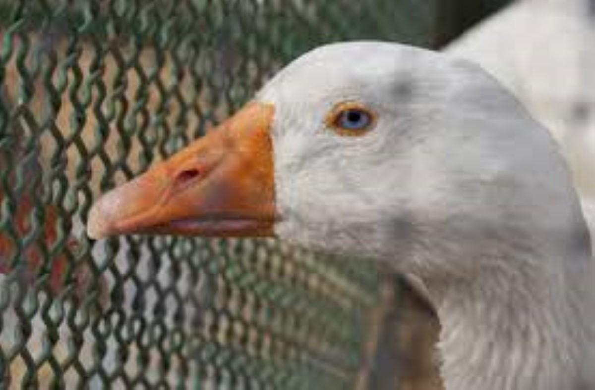 Sébastopol : Vol de lapins et de canards