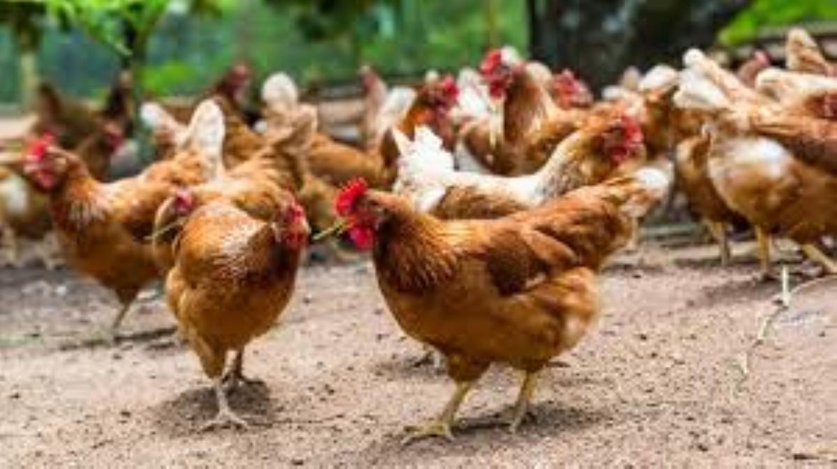 À Anse la Raie, un éleveur rapporte la disparition de 200 de ses volailles