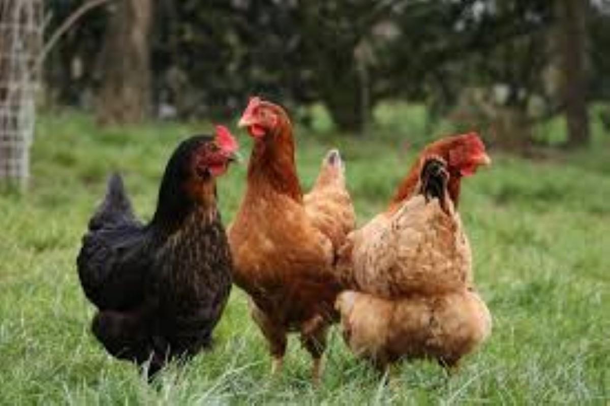 Forest-Side : Un voleur de 200 poules en plein confinement arrêté