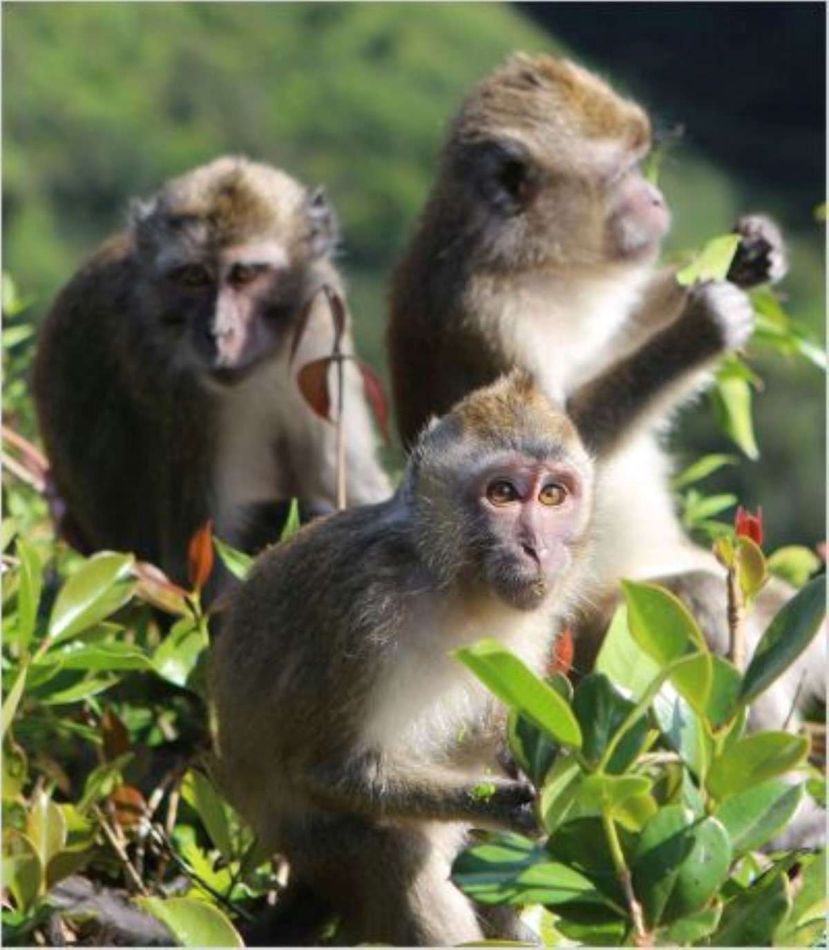 Long-tailed macaques, Mauritius Photo credit Trevor Walker