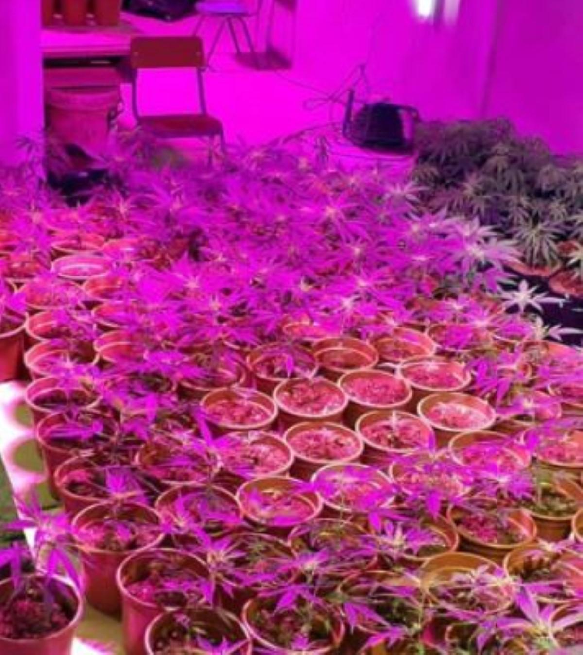 Du cannabis cultivés sous serre grâce à des panneaux Led