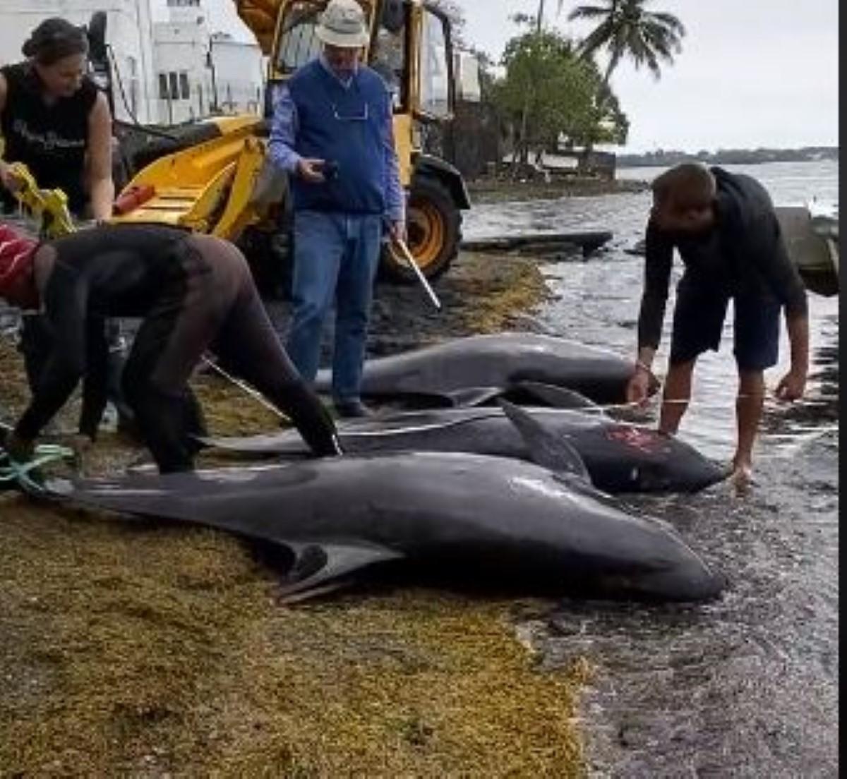 Selon un rapport préliminaire, l'hydrocarbure n'est pas la cause du décès des dauphins