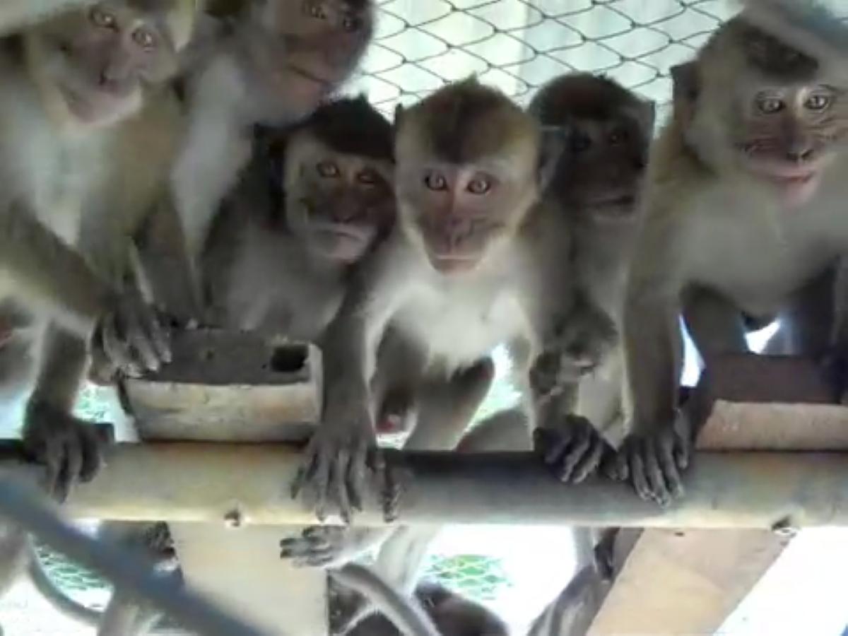 Une communication qui passe mal. Des singes mauriciens dans l'élaboration du vaccin du laboratoire Pfizer, « efficace à 90 % »