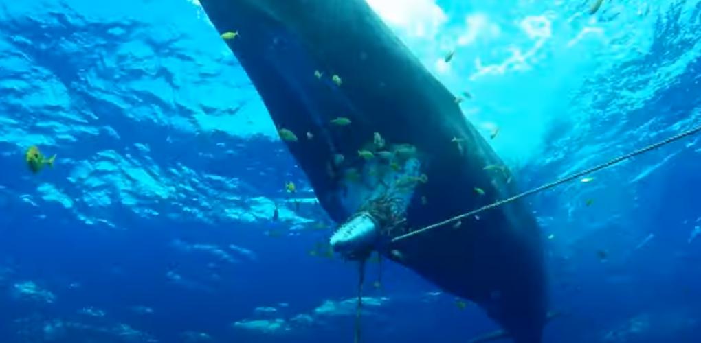 """[Vidéo] Sauvetage du cachalot """" Tache Blanche"""" à l'île Maurice"""