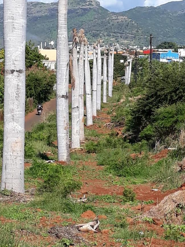 Des palmiers transplantés du Caudan à Pointe aux Sables, laissés à l'abandon dans l'indifférence générale