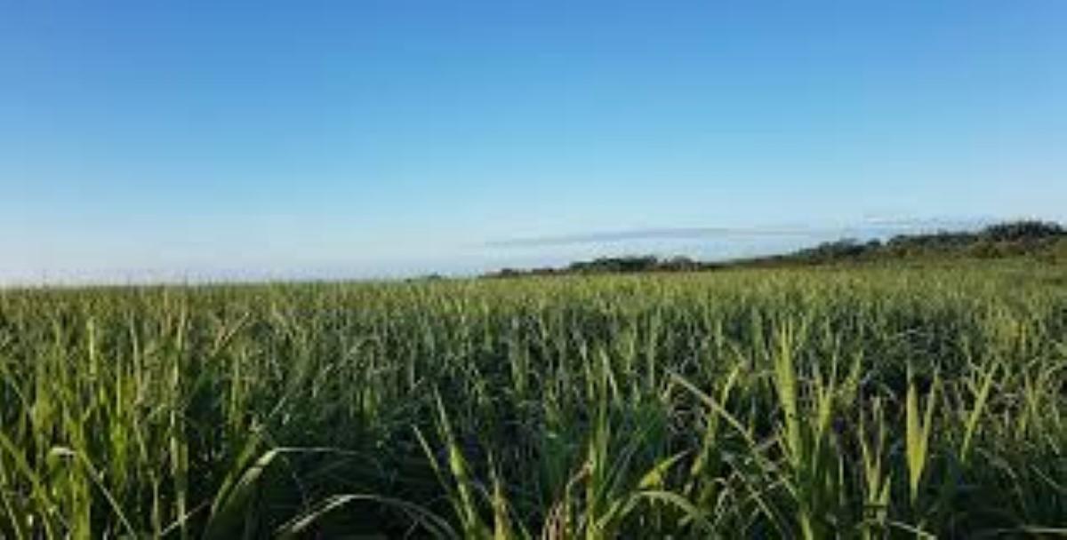 Production sucrière 2021 : 270 000 tonnes de sucre