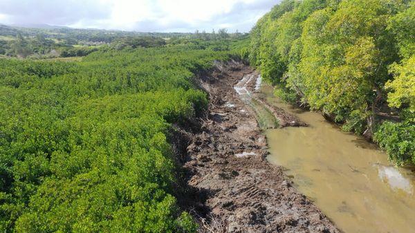 Des Palétuviers (mangroves) massacrés à St-Martin, Bel-Ombre