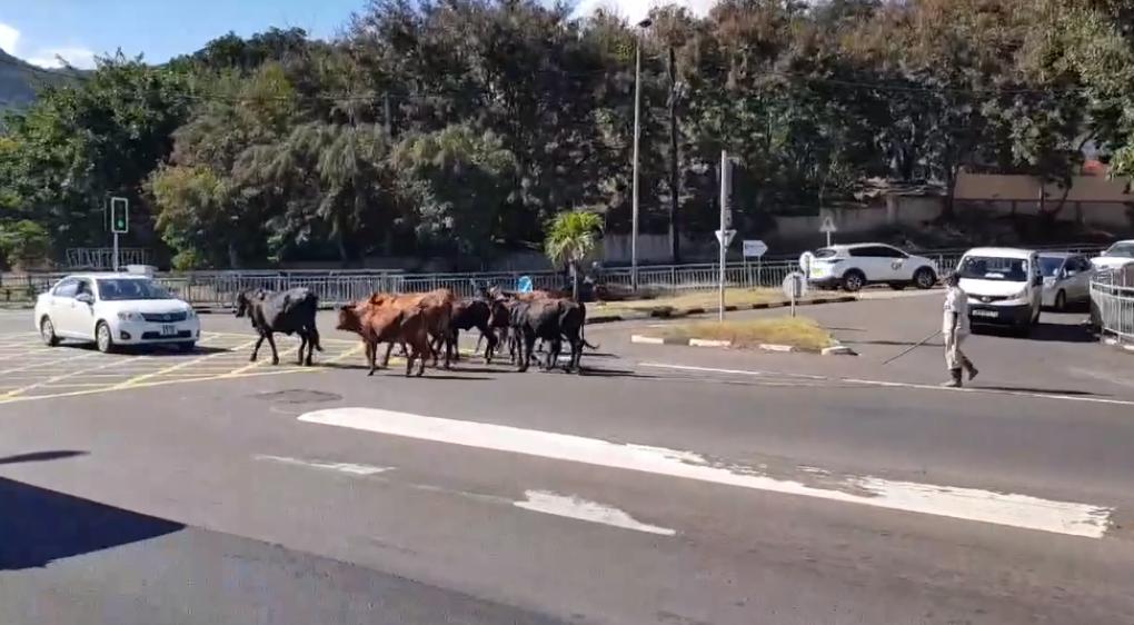 Scène insolite : Un troupeau de boeufs en vadrouille à Grande-Rivière-Nord-Ouest