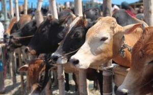 Eid-Ul-Adha : le prix du bétail fixé à Rs 132.50 le kilo