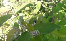 Le jardin de Gael Soupe : Clibadium surinamense