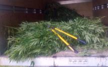 Montagne du Morne :1 075 plants de cannabis ont été déracinés
